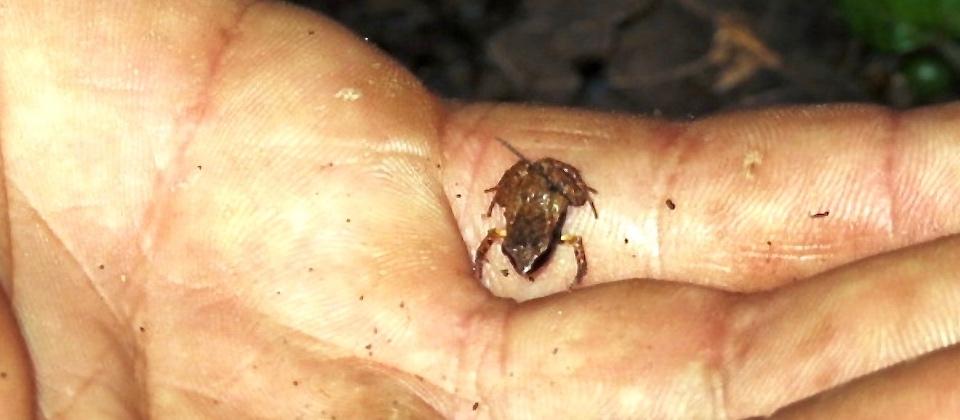 Eleutherodactylus Iberia – Baracoa
