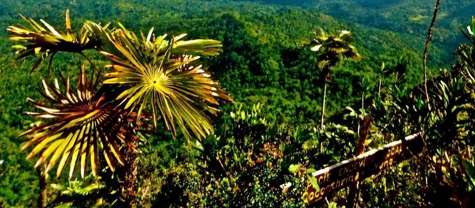 Coccothrinax Yunquensis – El Yunque – Baracoa