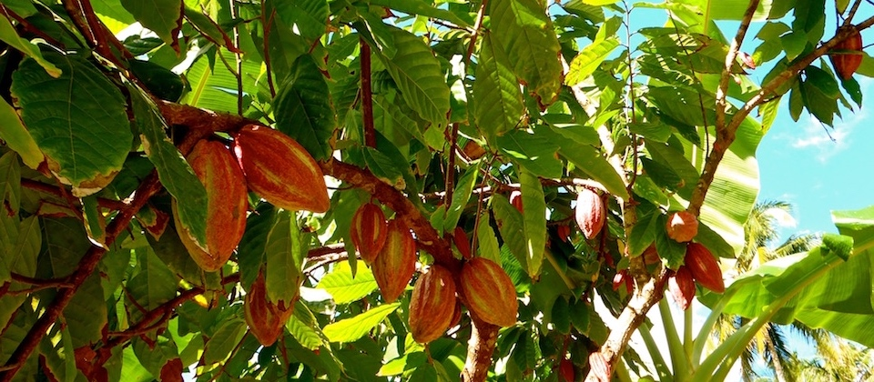 Cacao en el río Duaba