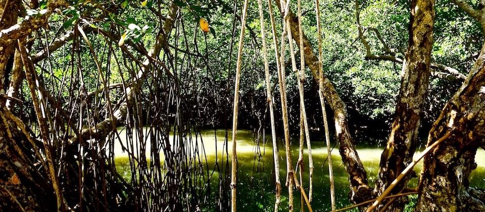 Mangrove in Boma – Baracoa, Cuba