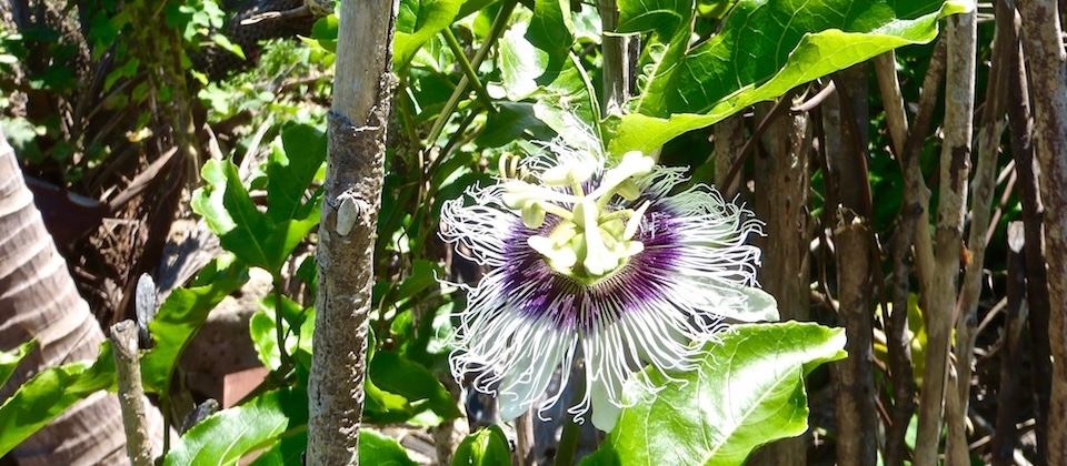 Passion Fruit Flower Villa Paradiso Baracoa Cuba
