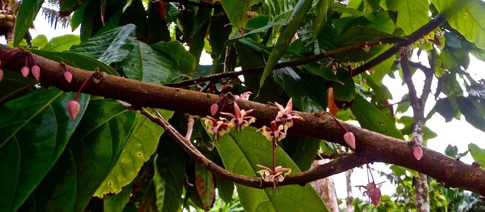 Cocoa Tree Blooming – Baracoa, Cuba Cacao