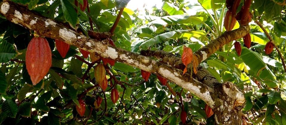 Hanging Cacao Pods – Baracoa, Cuba