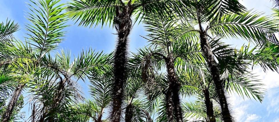 Bactris cubensis • Parque Humboldt Park • Baracoa Cuba