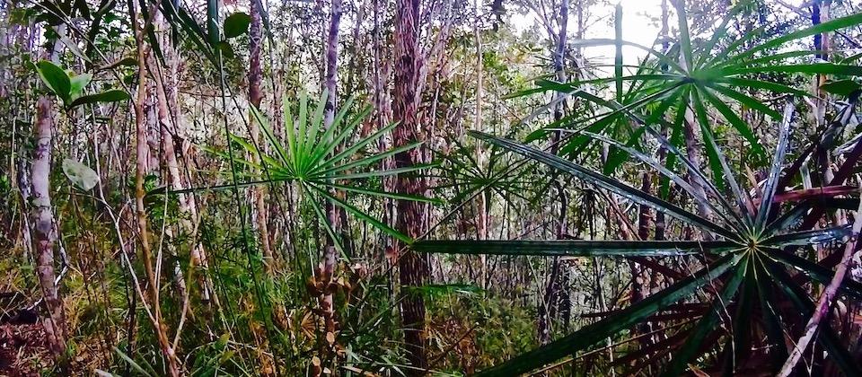 Coccothrinax alexandrii • Parc Humboldt Park • Baracoa Cuba