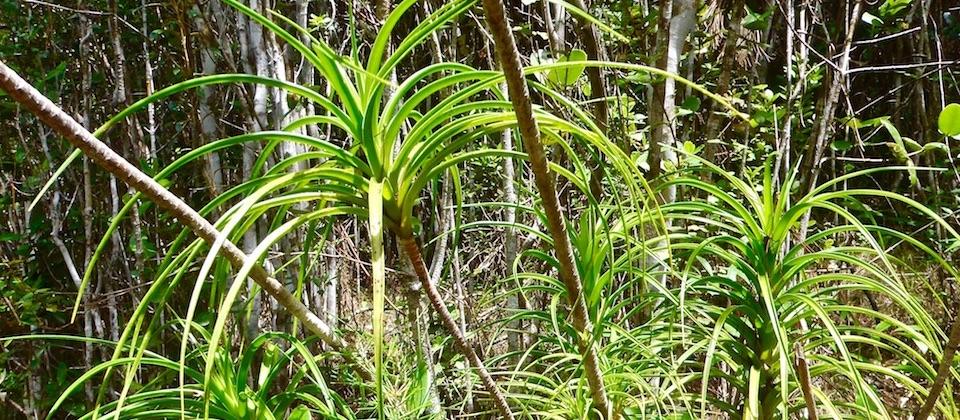 Dracaena cubensis • El Recreo • Parc Humboldt Park • Baracoa Cuba
