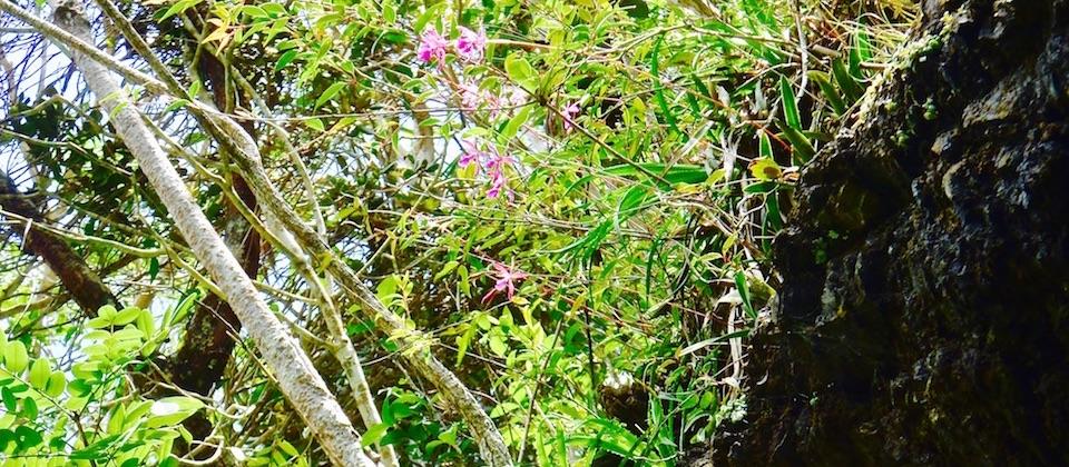 Encyclia moebusii Orchids Orchidées • El Recreo • Parc Humboldt Park • Baracoa Cuba
