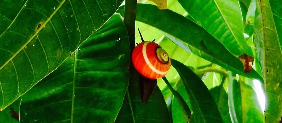 Polymita Picta • Parque Humboldt Park • Baracoa Cuba
