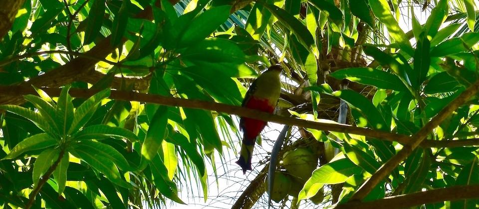 Tocororo (Priotelus temnurus) • Parc Humboldt Park • Baracoa Cuba