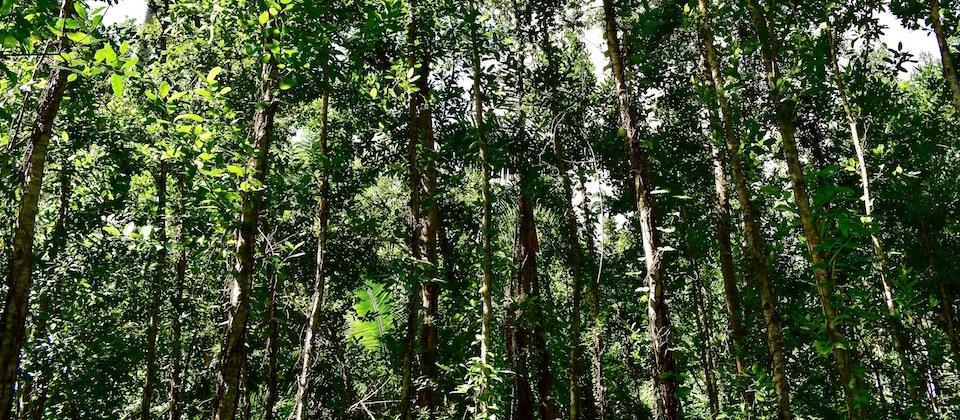 Ocuje (Calophyllum antillanum Britt) • Cañon Yumurí Canyon • Baracoa Cuba