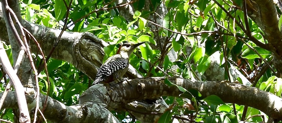 West Indian Woodpecker • Yumuri Canyon • Baracoa Cuba