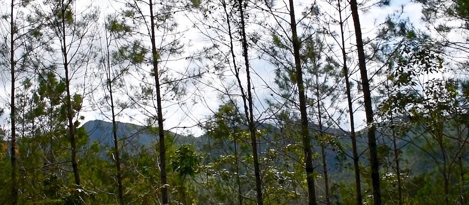 La Farola – From Santiago to Baracoa Cuba (Pinus cubensis)