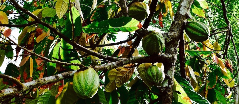 Cacao • Baracoa Cuba