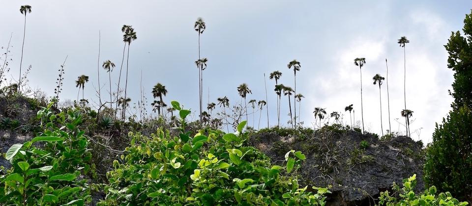 Coccothrinax Yuraguana • Pozo Azul Trail • Maisi • Baracoa Cuba