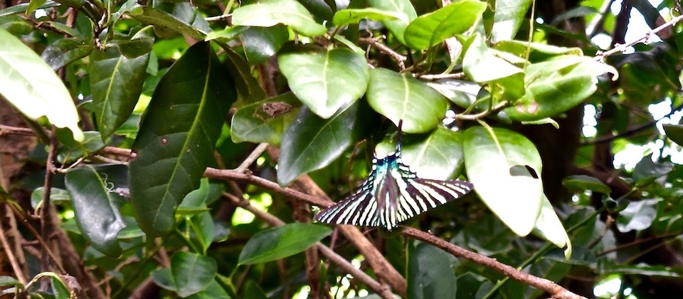 Butterfly on Pozo Azul trail • Maisi • Baracoa Cuba