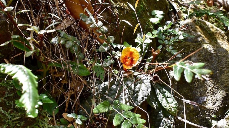 Gesneria shaferi • Las Minas • Baracoa • Cuba