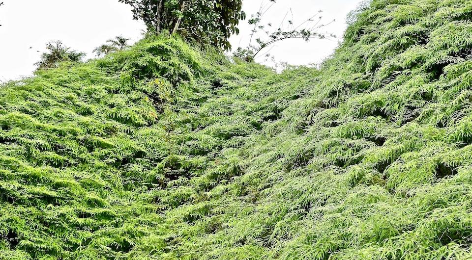 Ferns Fougères Helechos • Quibijan • Baracoa Cuba