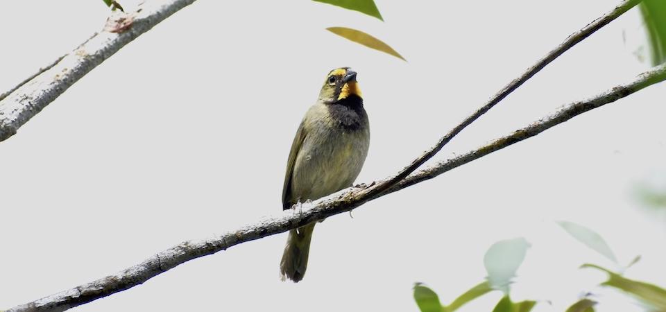Yellow-faced Grassquit (Tiaris olivaceus) • Tomeguín de la tierra • Cici grand-chanteur • Birding Oiseaux Aves • Baracoa Cuba