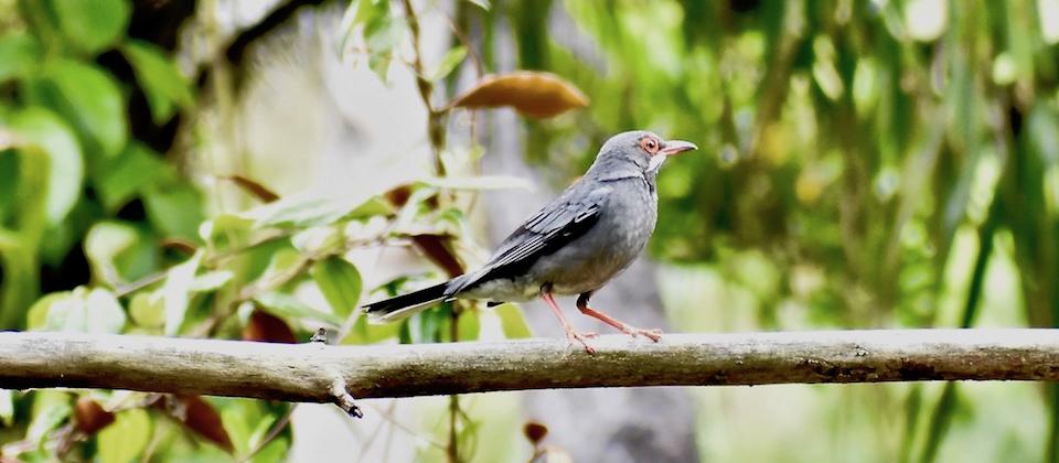 Red-legged Thrush (Turdus plumbeus plumbeus) • Zorzal • Merle vantard • Birding Oiseaux Aves • Baracoa Cuba