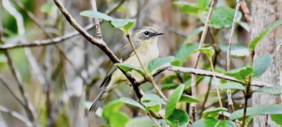 Black-Throated Blue Warbler (Setophaga caerulescens) • Bijirita azul de garganta negra • Paruline bleue • Birding Oiseaux Aves • Baracoa Cuba