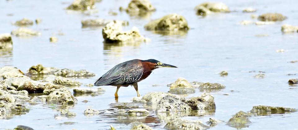 Green Heron (Butorides virescens) • Aguaitacaimán o Matuango • Héron vert • Birding Oiseaux Aves • Baracoa Cuba