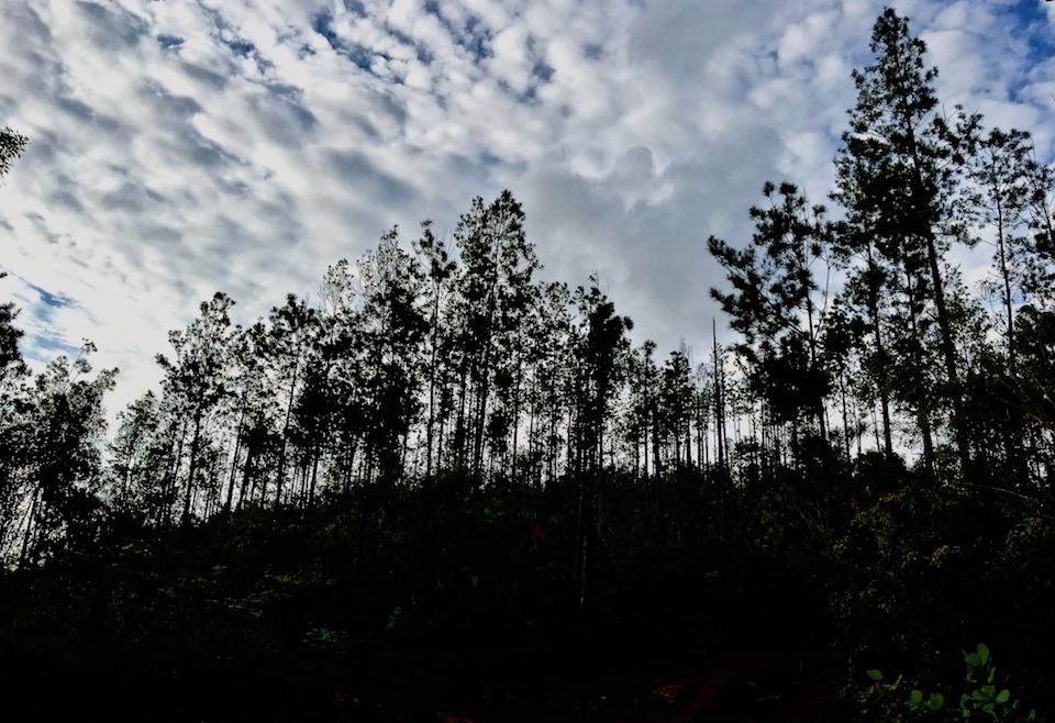 Pinus cubensis • Baracoa Cuba