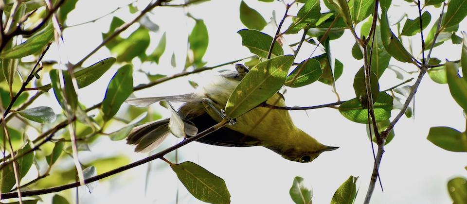Oriente Warbler (Teretistri fornsi) • Pechero • Paruline d'Oriente • Birding Oiseaux Aves • Baracoa Cuba