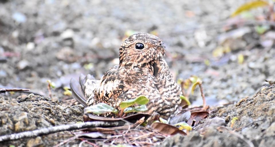 Antillean Nighthawk • Querequeté (Chordeiles gundlachii) • Baracoa Cuba • Birding • Birdwatching • Aves • Oiseaux