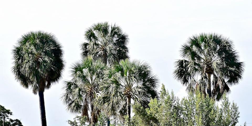 Cuba Road Trip • Southern Coast • Palma Cana (Sabal maritima)