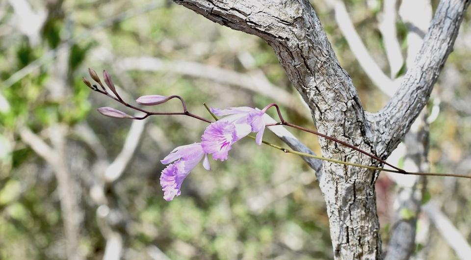 Broughtonia lindenii • Orchid Orchidée Orquídea • Guantánamo Cuba