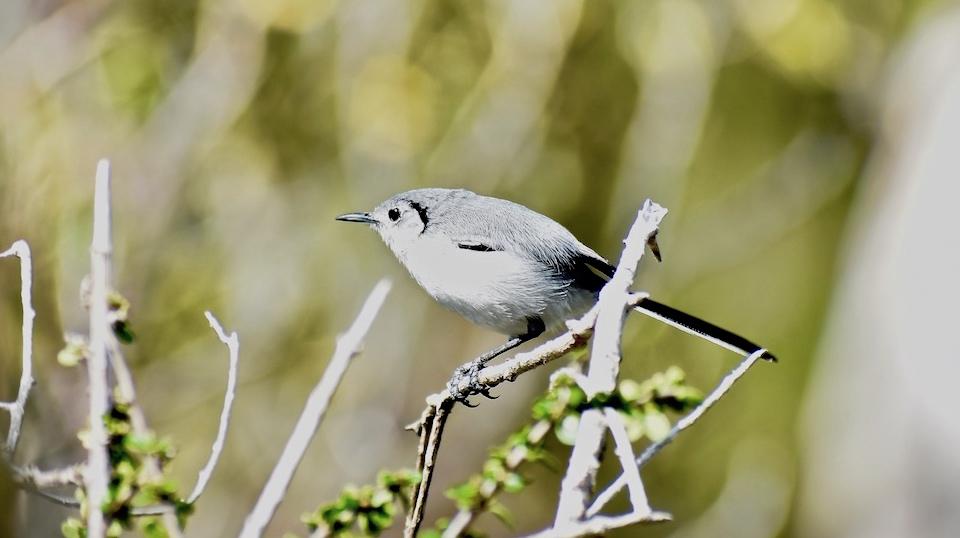 Sinsontillo • Cuban Gnatcatcher • Gobemoucheron de Cuba (Polioptila lembeyei) • Birding • Birdwatching • Aves • Oiseaux • Pajareo