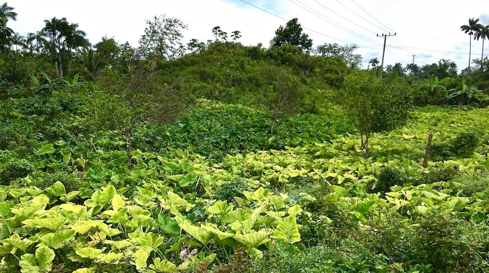 Malanga • Taro • Colocasia esculenta • Cuba
