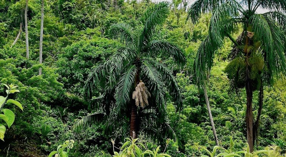Roystonea violacea • Maisi • Baracoa • Cuba