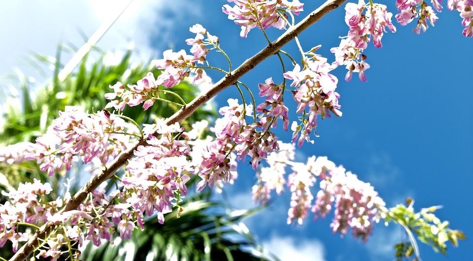 Fleurs de jupiter pour miel • Baracoa Cuba