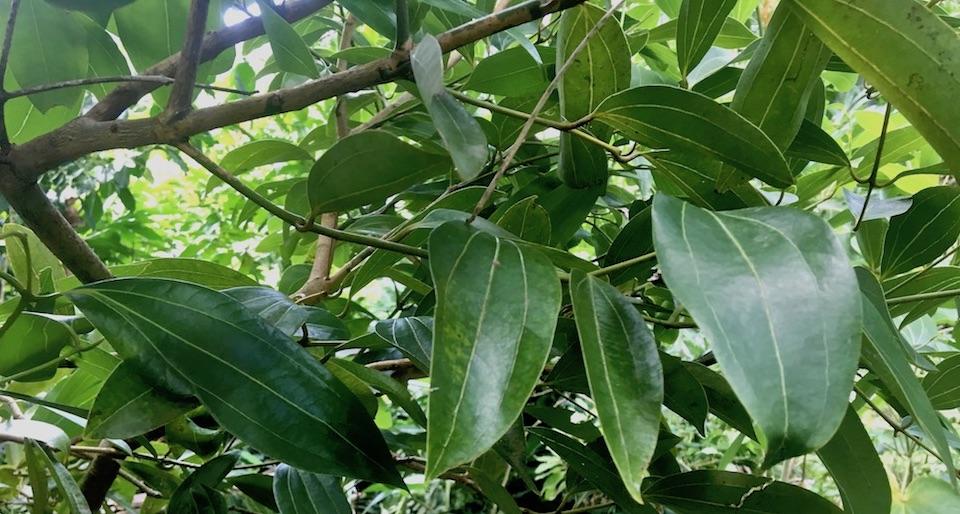 Canela Cinnamon Cannelle • Baracoa • Cuba