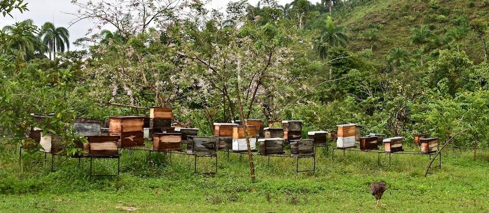 Cuban honey in Baracoa • Miel cubain • Cuba