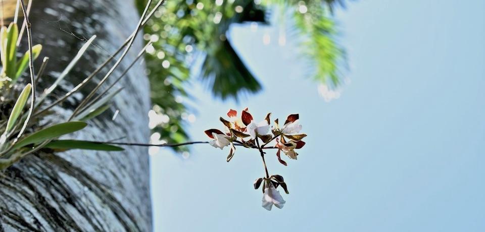 Encyclia hamiltonii Orchid Orchidée Orquídea Cuba Baracoa