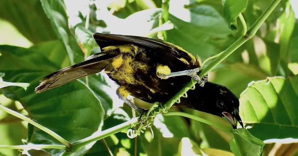Icterus melanopsis Birdwatching Baracoa Eastern Cuba Birding Oiseaux Pajareo