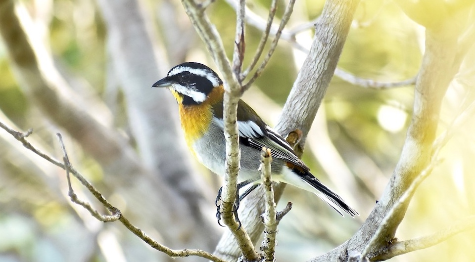 Spindalis zena pretrei Oiseaux Birding Baracoa Eastern Cuba Birdwatching Pajareo Aves