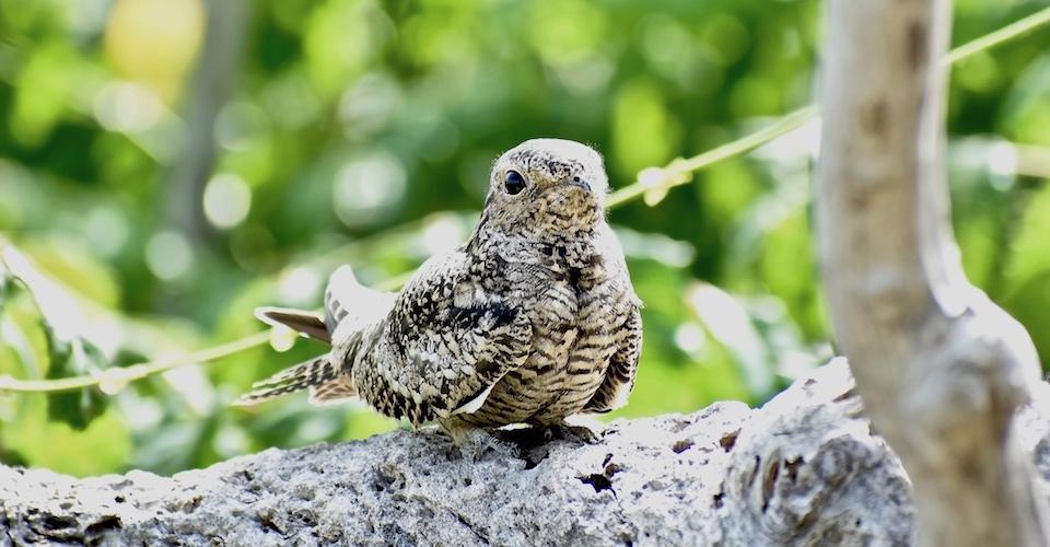 Chordeiles gundlachii Baracoa Eastern Cuba Birdwatching Oiseaux Birding Pajareo Aves