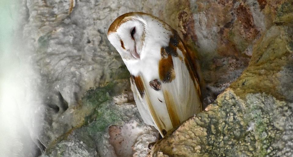 Tyto alba niveicauda Baracoa Cuba Birding Birdwatching Oiseaux Aves Pajareo