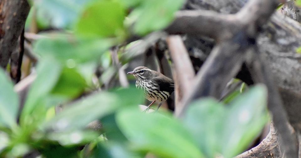 Parkesia noveboracensis Baracoa Eastern Cuba Birding Oiseaux Birdwatching Pajareo Aves