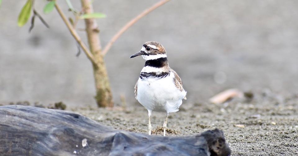 Charadrius vociferus Birdwatching Baracoa Eastern Cuba Birding Oiseaux Aves Pajareo