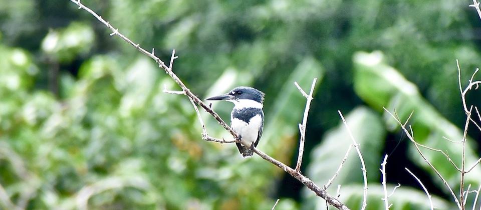 Megaceryle alcyon Baracoa Eastern Cuba Birding Oiseaux Birdwatching Aves Pajareo