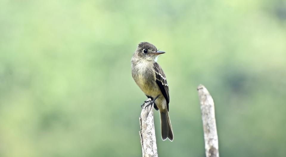 Contopus caribaeus Baracoa Eastern Cuba Birding Oiseaux Birdwatching Pajareo Aves