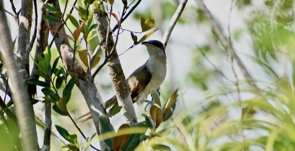 Coccyzus americanus Baracoa Eastern Cuba Birding Birdwatching Oiseaux Ornithologie Aves