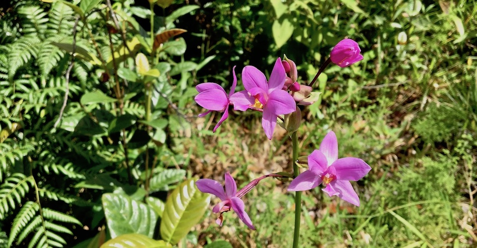 Spathoglottis plicata Orchid Orchidée Baracoa Cuba Orquídea