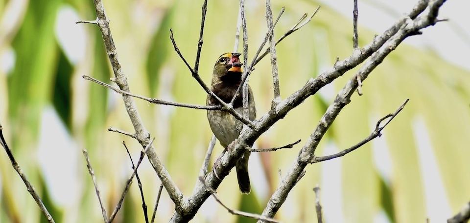 Tiaris olivaceus Baracoa Eastern Cuba Birding Oiseaux Birdwatching Ornithologie Aves Pajareo