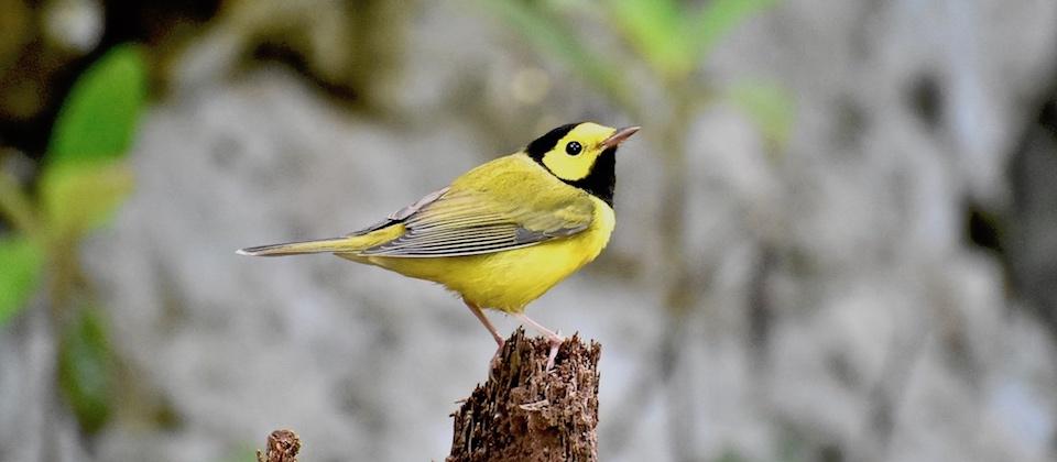 Setophaga citrina Birding Baracoa Eastern Cuba Birdwatching Pajaero Oiseaux Ornithologie