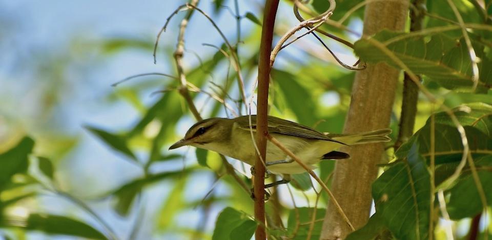 Vireo altiloquus barbatulus Baracoa Eastern Cuba Birdwatching Ornithologie Birding Oiseaux Aves